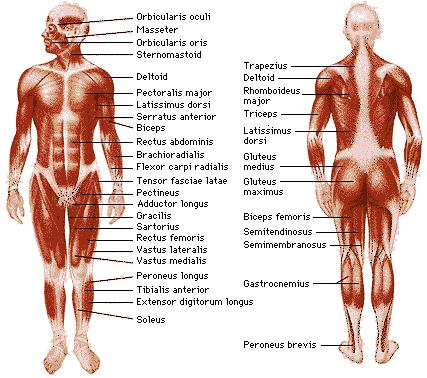 Die Muskeln im menschlichen Körper | Wunderkammer Wissenschaft